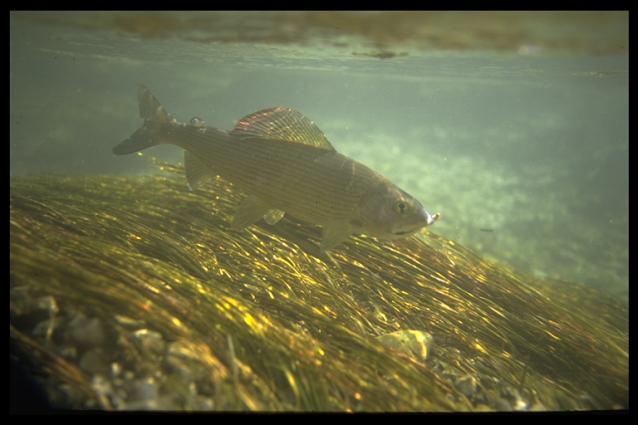 Un ombre majestueux dans l'eau limpide d'une rivière non pollue.