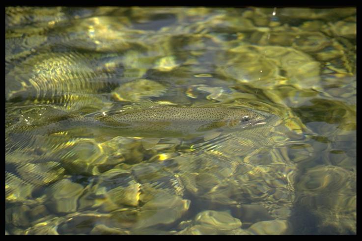 Voire surgir des eaux translucides une belle truite est toujours une émotion intense